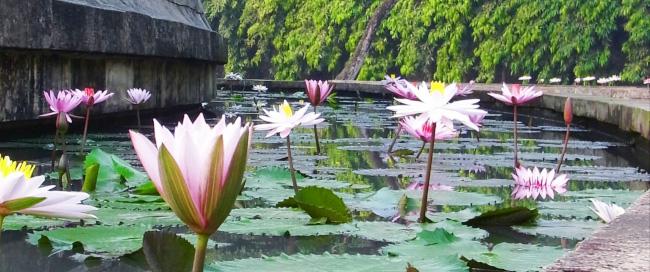 南国の蓮の花