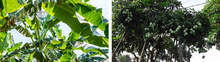 アジアンインテリアKAJAバナナの木とマンゴーの木