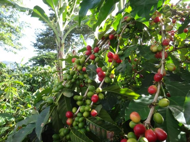 アジアン家具KAJAコーヒーの木イメージ