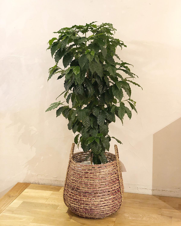 アジアン家具KAJAコーヒーの木